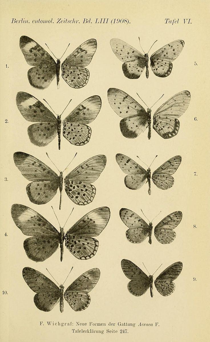 Acraea violarum