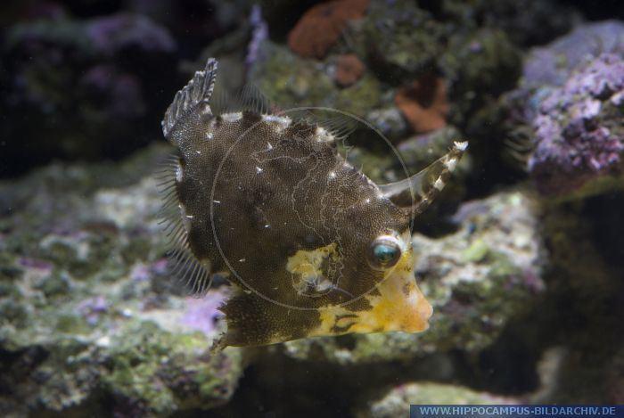 Acreichthys tomentosus Acreichthys tomentosus alias Bristletail filefish Hippocampus