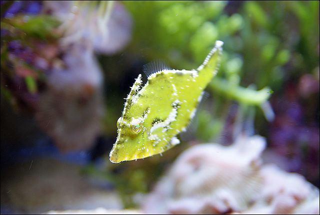 Acreichthys tomentosus ipernity Seegrasfeilenfisch Acreichthys tomentosus by Knert