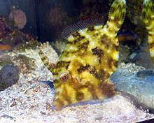 Acreichthys tomentosus httpsuploadwikimediaorgwikipediacommonsthu