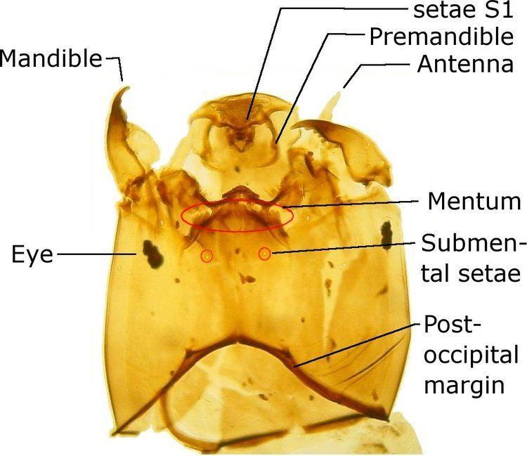Acricotopus