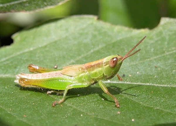 Acrididae Grasshoppers Family