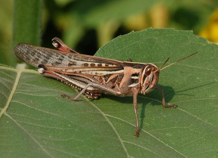 Acrididae Family Acrididae ENT 425 General Entomology
