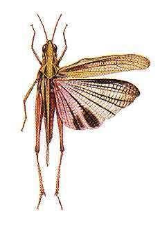 Acrididae wwwentocsiroaueducationAssetsimagesorthopte