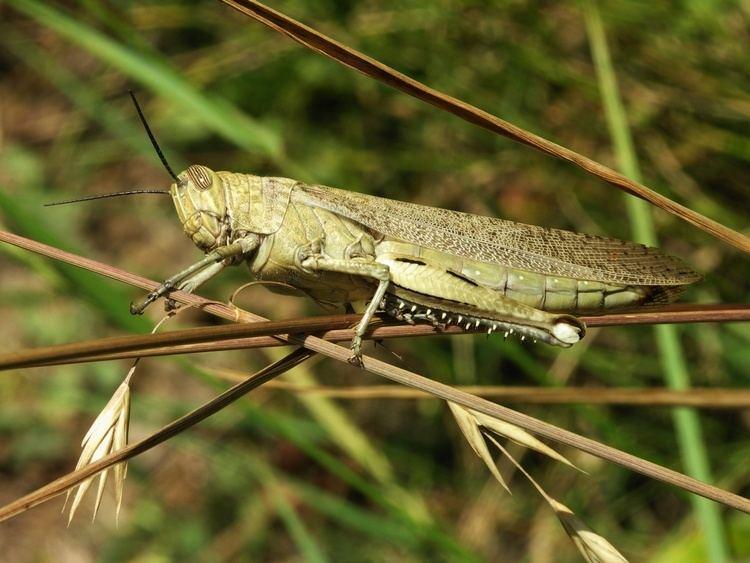 Acrididae Acrididae Wikipedia