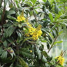 Acridocarpus natalitius httpsuploadwikimediaorgwikipediacommonsthu