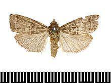 Acrobasis pirivorella httpsuploadwikimediaorgwikipediacommonsthu
