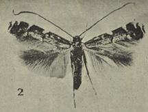 Acrocercops zorionella