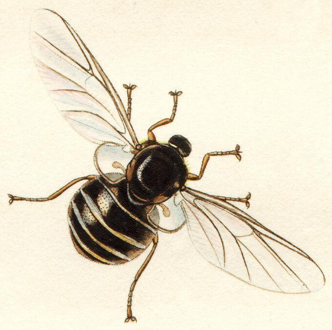 Acrocerinae