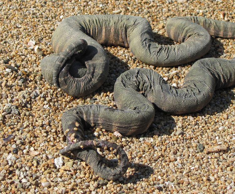 Acrochordidae Acrochordus granulatus Acrochordidae little file snake Flickr