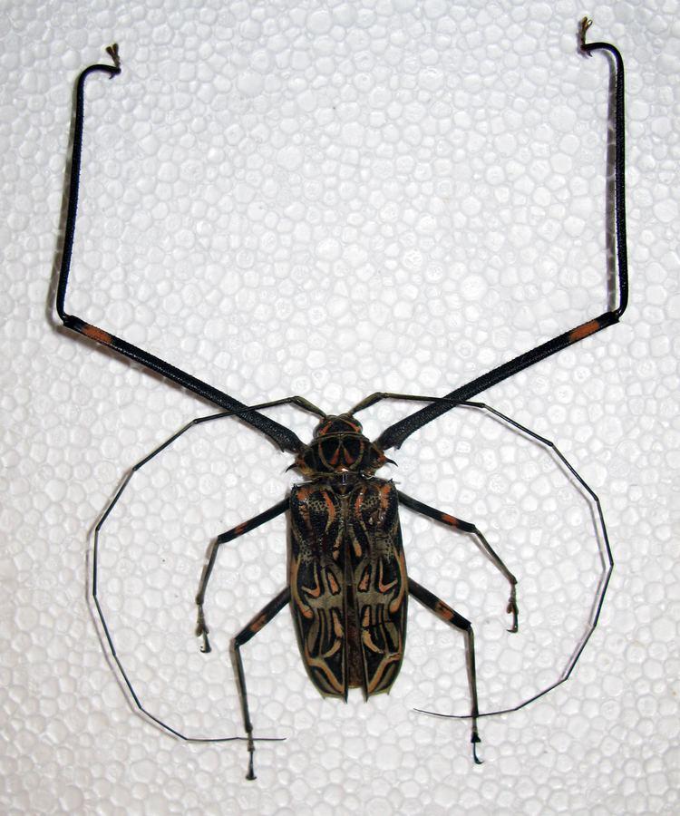 Acrocinus Acrocinus longimanus Wikipedia