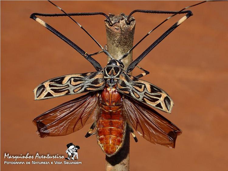 Acrocinus Besouro Arlequimdamata Acrocinus longimanus Ceramby Flickr
