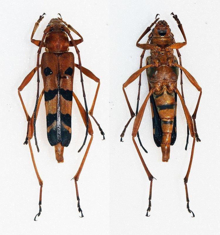 Acrocyrtidus argenteofasciatus