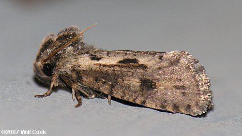 Acrolophus Acrolophus popeanella Clemens39 Grass Tubeworm Moth