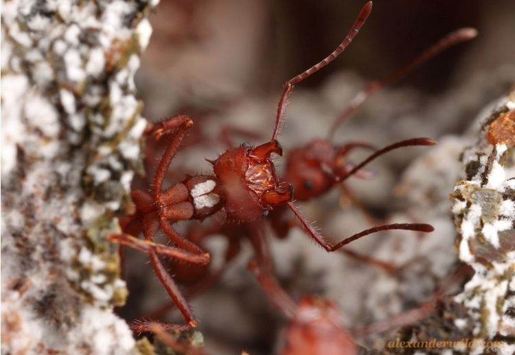 Acromyrmex echinatior hymenopteragenomeorgacromyrmexsiteshymenoptera