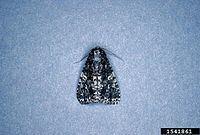 Acronicta afflicta httpsuploadwikimediaorgwikipediacommonsthu