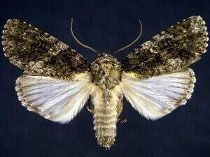 Acronicta afflicta Moth Photographers Group Acronicta afflicta 9254