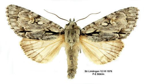 Acronicta cuspis Acronicta cuspis Spjutaftonfly