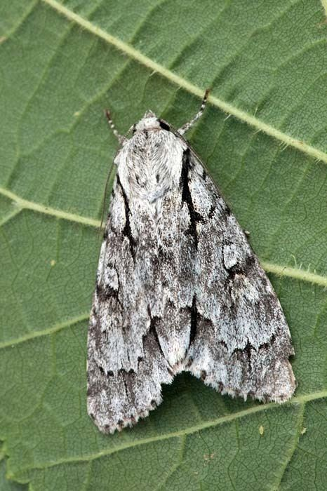 Acronicta cuspis Large Dagger Acronicta cuspis UKMoths