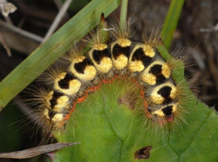 Acronicta euphorbiae European Lepidoptera and their ecology Acronicta euphorbiae