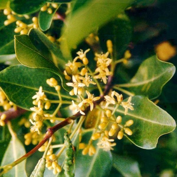 Acronychia Acronychia imperforata Noosa39s Native Plants