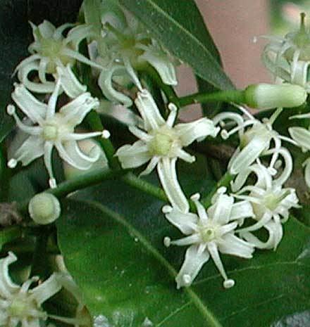 Acronychia Acronychia oblongifolia RUTACEAE White Achronychia