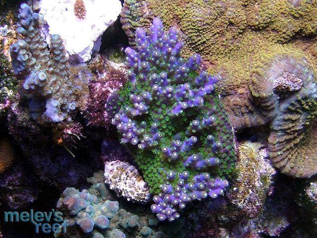 Acropora valida Acropora valida Melev39s Reef Inc