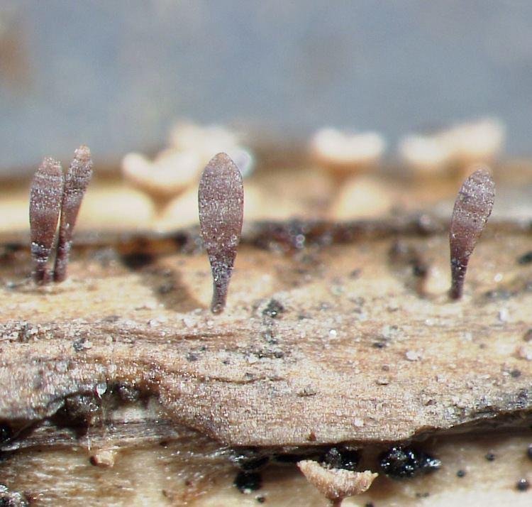 Acrospermum All Fungi Fungi of Great Britain and Ireland