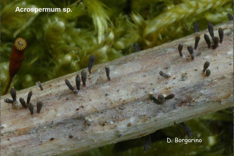 Acrospermum photos champignons