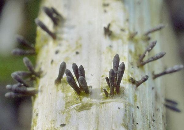 Acrospermum Acrospermum compressum Fadensporiges Flachkeulchen