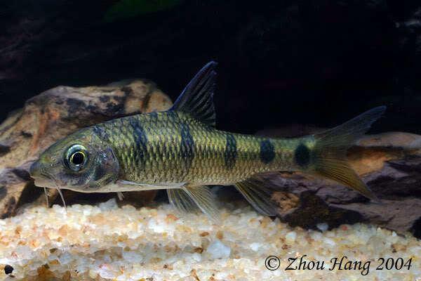 Acrossocheilus wwwseriouslyfishcomwpcontentuploads201408A
