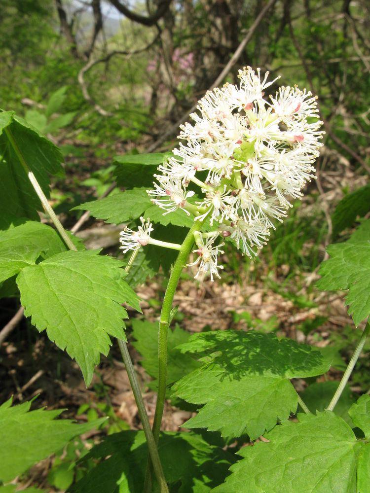 Actaea asiatica httpsuploadwikimediaorgwikipediacommonsthu