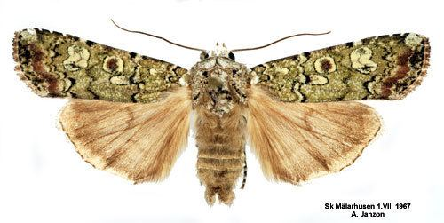 Actebia praecox Actebia praecox Insecta Lepidoptera Noctuidae