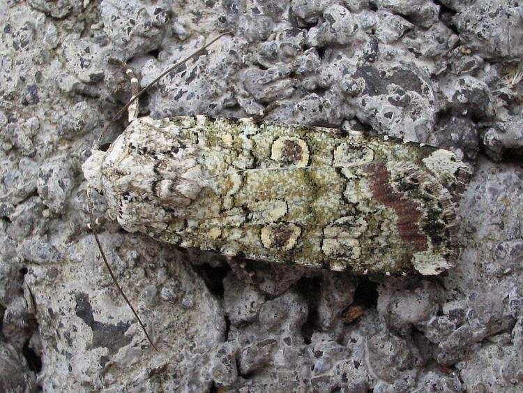 Actebia praecox 73308 Portland Moth Actebia praecox County Mayojpgm1395084508