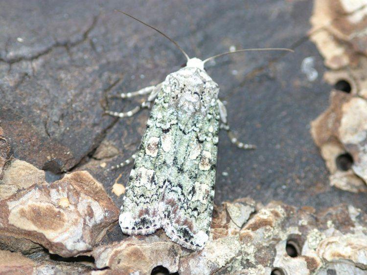 Actebia praecox Portland Moth Actebia praecox Norfolk Moths The macro and