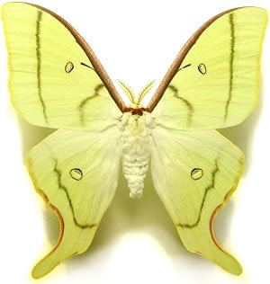 Actias artemis The Insect Collector