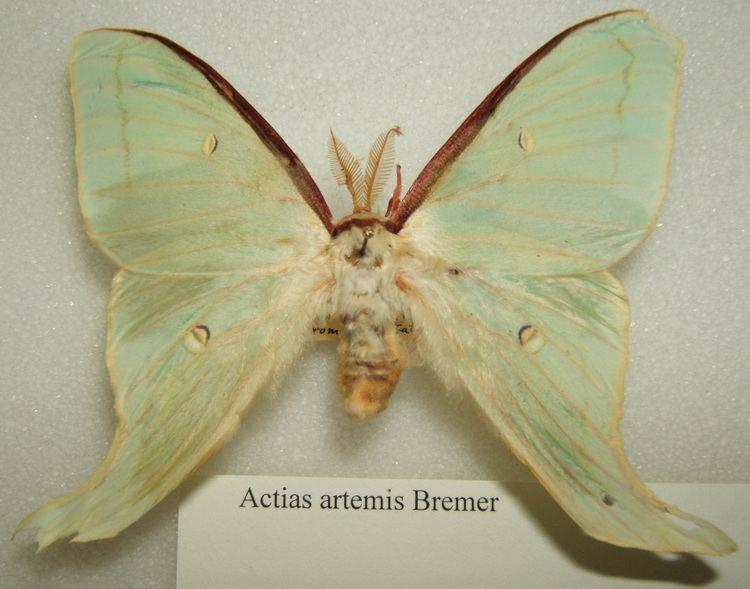 Actias artemis httpsuploadwikimediaorgwikipediacommons22