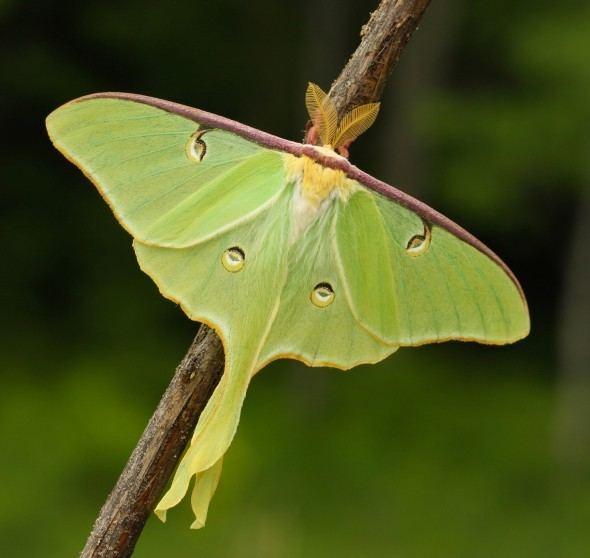 Actias luna 7758 Actias luna Luna Moth Ontario Moths