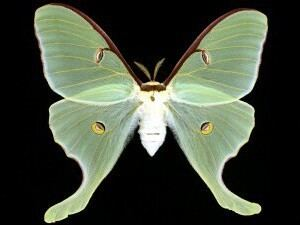 Actias luna Moth Photographers Group Actias luna 7758