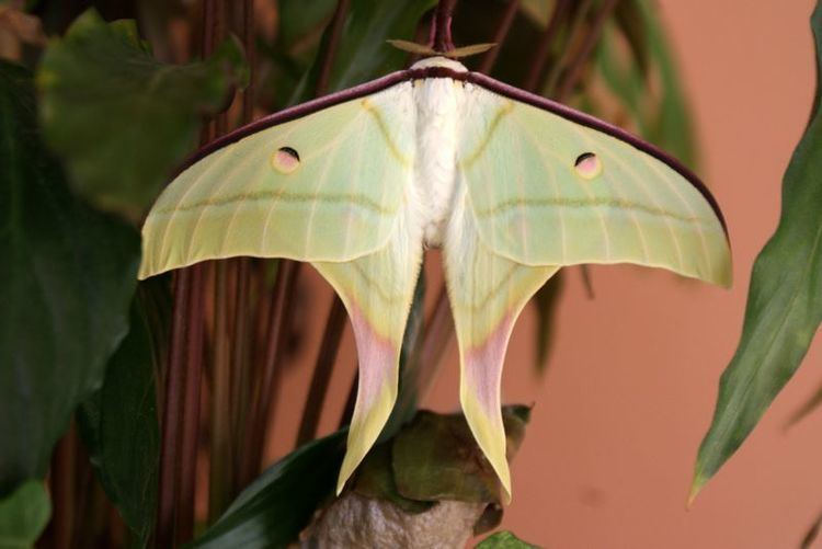 Actias selene Rare Species Of Indian Moon Moth Spotted In Trichy India39s Endangered