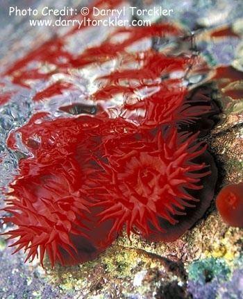 Actinia tenebrosa Section Anemones Group Sea Anemones Species Actinia tenebrosa