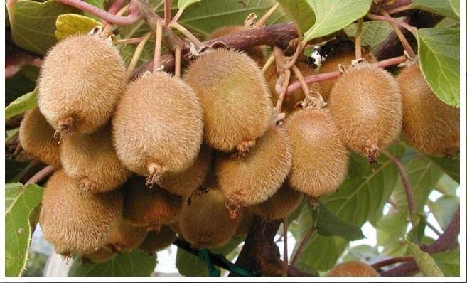 Actinidia deliciosa Kiwifruit Actinidia deliciosa Home