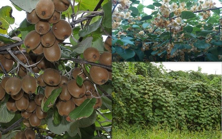 Actinidia deliciosa 1000 images about Actinidia deliciosa on Pinterest Buy plants