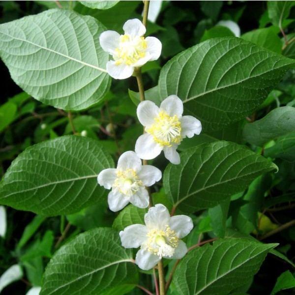 Actinidia polygama Buy Silver Vine Seeds Online Rarexoticseeds