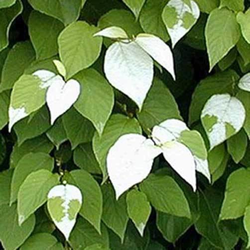Actinidia polygama Actinidia polygama Silver Vine 10 seeds