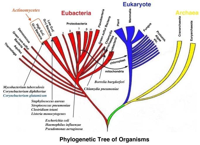 Actinobacteria Actinobacteria Actinomycetes Discover Life