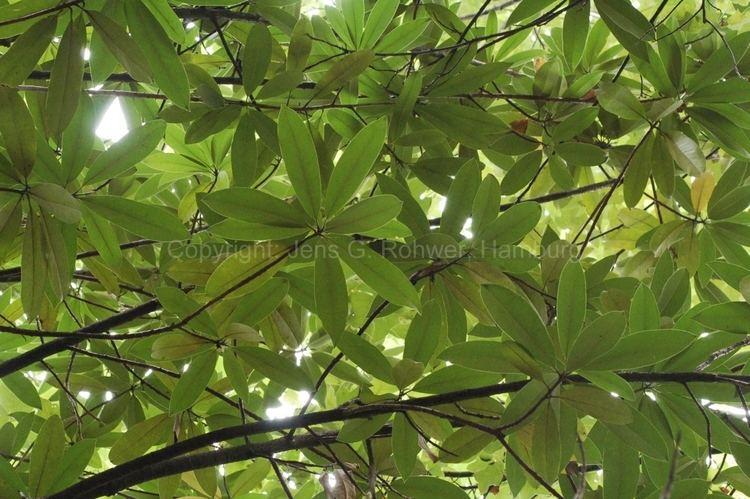 Actinodaphne Lauraceae taxonomy Lauraceae