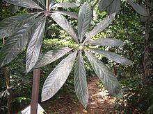 Actinodaphne httpsuploadwikimediaorgwikipediacommonsthu