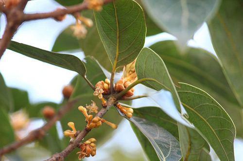 Actinodaphne lawsonii - Alchetron, The Free Social Encyclopedia