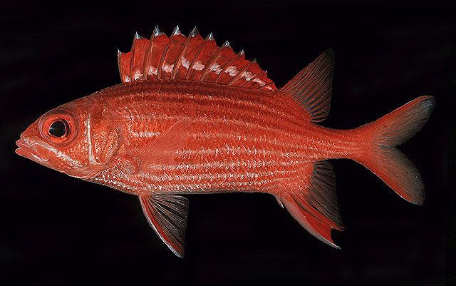 Actinopterygii Fish list in Mayotte